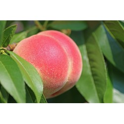 PLATEAU DE NECTARINES BLANCHES